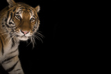 A Female Amur Tiger at the Cheyenne Mountain Zoo Photographic Print by Joel Sartore