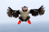 Portrait of an Atlantic Puffin, Fratercula Arctica, in Flight with Wings and Feet Spread Premium fototryk af Robbie George