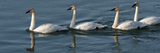 Four Trumpeter Swans Swimming in a Row Photographic Print by Peter Mather
