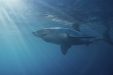 Portrait of a Male Great White Shark, Carcharodon Carcharias, Swimming in Rays of Sunlight Reproduction photographique par Jeff Wildermuth