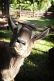 A Curious Goat Peers into the Camera Lens Reproduction photographique par Chris Bickford