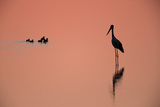 A Silhouetted Black-Necked Stork, and a Brood of Small Birds, in Water at Sunset Stampa fotografica di Roy Toft
