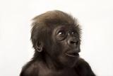 A Critically Endangered, Six-Week-Old, Female, Baby Gorilla, Gorilla Gorilla Gorilla, at the Cincin Lámina fotográfica por Sartore, Joel