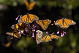Monarchs Feeding on Milkweed in the Sierra Chincua Monarch Sanctuary, Michoacan, Mexico Photographic Print by Medford Taylor