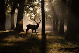 A Red Deer Stag Walks Through a Forest in the Early Morning Mist in Richmond Park in Autumn Reproduction photographique par Alex Saberi