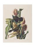 Illustration from 'Birds of America', 1827-38 Giclee Print by John James Audubon
