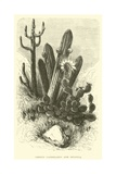 Cereus Cadelaris and Opuntia Giclee Print by Édouard Riou