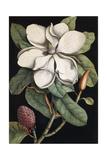 Laurel Tree, 1731-1743 Impressão giclée por Mark Catesby