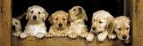 Golden Retriever Puppies Club Kunstdruck
