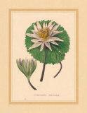 Nymphea Versicolo Kunstdrucke von C. Van Geel