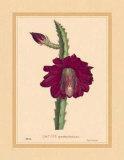 Speciosissimus Kunstdrucke von C. Van Geel
