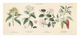 Spice Plants II Poster von William Rhind