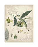 Descube Botanical II Impressão giclée por A. Descube