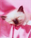 Kitten Sleeping Posters