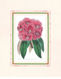 Rhododendron III Póster