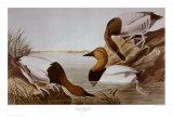Canvasback Duck Prints by John James Audubon