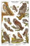 Owls A - Birds of Prey Art