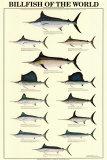 Billfish of the World Poster