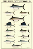 Billfish of the World Poster
