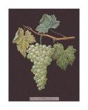 White Grapes Impressão giclée por George Brookshaw