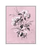 Dussurgey Hydrangea on Pink Impressão giclée por  Dussurgey