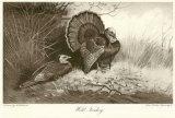 Wilder Truthahn Kunstdruck von Archibald Thorburn