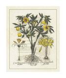 Besler Floral II Impressão giclée por Besler Basilius