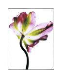 Tulip Prints by Cédric Porchez