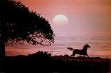 Cheval au galop au coucher du soleil Posters par Julie Habel
