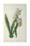 Iris Florentina, from `Les Liliacees', 1805 Giclee-trykk av Pierre-Joseph Redouté