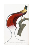 Red Bird of Paradise Reproduction procédé giclée par Jacques Barraband