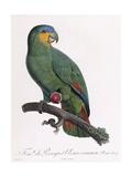 Female of the Douro-Couraou Parrot Lámina giclée por Barraband, Jacques