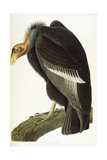 Californian Vulture, Old Male, 1838 Giclée-tryk af John James Audubon