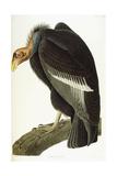 Californian Vulture, Old Male, 1838 Giclée-vedos tekijänä John James Audubon