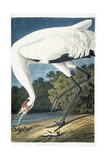 Whooping Crane, Adult Male, 1834 Giclée-tryk af John James Audubon