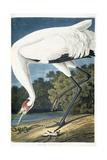 Whooping Crane, Adult Male, 1834 Giclée-vedos tekijänä John James Audubon