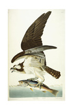 Fish Hawk, 1830 Giclee Print by John James Audubon