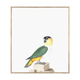 Black-Capped Parrot Giclee Print by Nicolas Robert