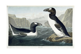 Great Auk, 1836 Giclee Print by John James Audubon