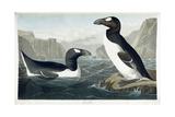 Great Auk, 1836 Giclee Print by John James Audubon