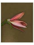 Lily Bud pink brown III Poster