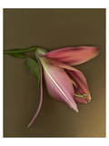 Lily Bud pink brown IV Poster
