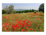 Poppy Field near Orvieto, Province of Terni, Umbria, Italy Print
