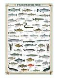 Ferskvandsfisk Plakater