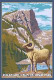 Big Horn Sheep, Rocky Mountain National Park Cartel de plástico por  Lantern Press