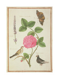 Pd.109-1973.F60 Centifolia Rose, Lavender, Tortoiseshell Butterfly, Goldfinch and Crested Pigeon Giclee Print by Nicolas Robert
