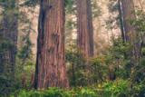 Tree World - Redwood National and State Park, California Coast Fotografisk trykk av Vincent James