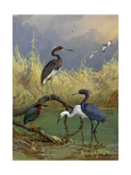 Various Herons Feed in Shallow Water Reproduction procédé giclée par Allan Brooks