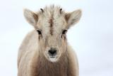 Close Up Portrait of a Bighorn Sheep Calf, Ovis Canadensis Lámina fotográfica por Robbie George