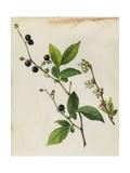 A Sprig of Black Highbush Blueberry Blossoms and Berries Giclée-vedos tekijänä Mary E. Eaton